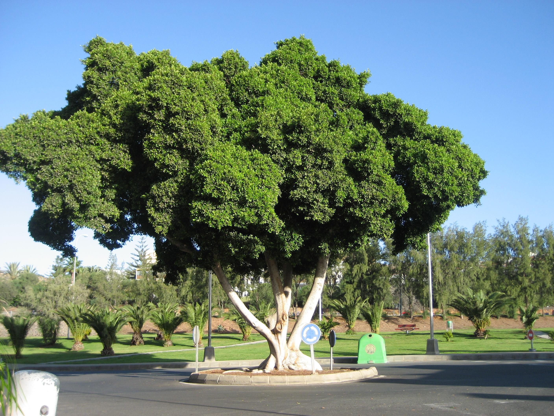 Spanska sparbanken-trädet